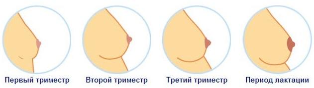 На каком сроке беременности начинает болеть грудь