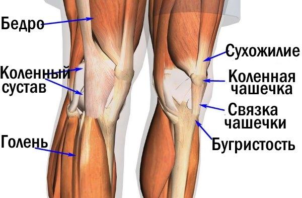 Строение коленного сустава.