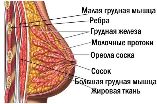 Строение женской груди.