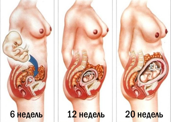 На какой недели живот растет при беременности