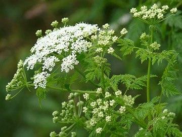 Трава Болиголов - лечебные свойства, польза и вред, рецепты приготовления отвара