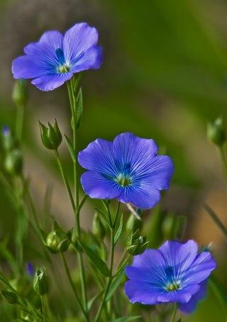 Семена льна. Полезные свойства и возможный вред для женщин. Применение и употребление