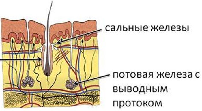 Строение кожи лица в косметологии. Эпидермис, подкожно-жировая клетчатка