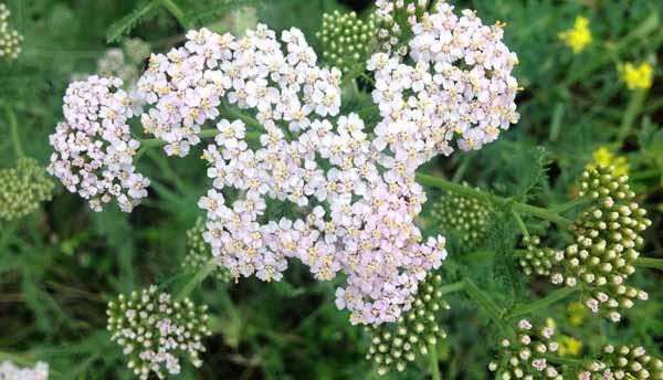 Тысячелистник трава. Лечебные свойства, противопоказания. Рецепты применения от болезней