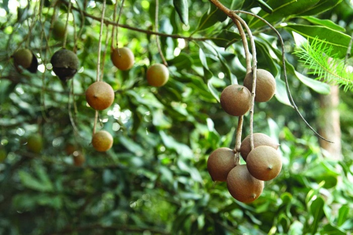 Австралийский орех макадамия. Польза для женщин, вред, сколько можно есть в день для здоровья
