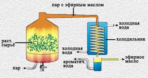 Масло орегано. Свойства, инструкция по применению в капсулах, жидкое
